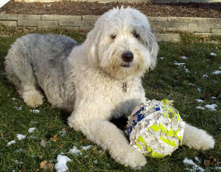 Winston the Old English Sheepdog Pictures 1012734