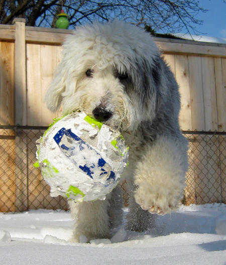 Winston the Old English Sheepdog Pictures 1012736