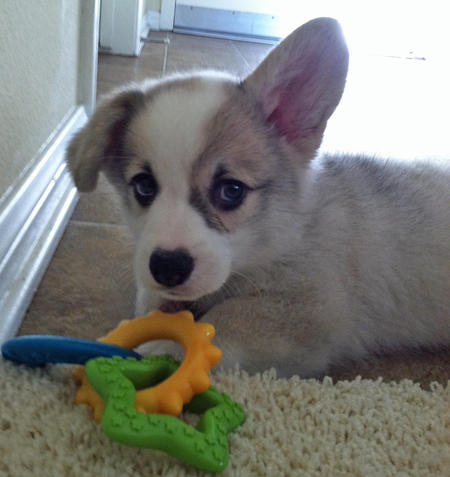 Winston the Pembroke Welsh Corgi Pictures 1046009