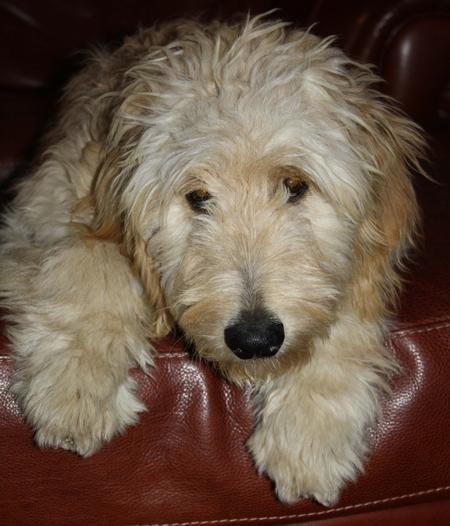 Woodrow the Goldendoodle Pictures 946265
