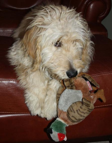 Woodrow the Goldendoodle Pictures 946264