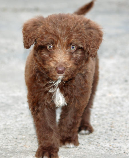 Woody the Poodle Mix Pictures 634140