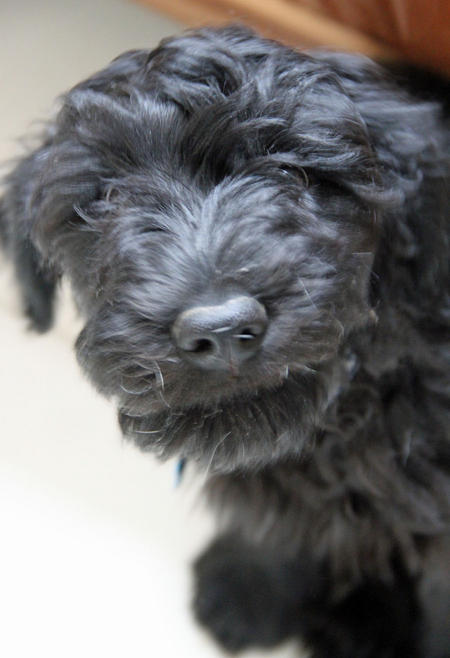Woody the Portuguese Water Dog Pictures 1019329