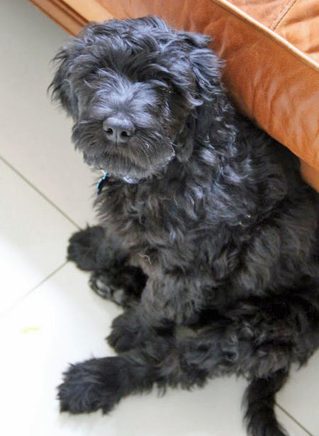 Woody the Portuguese Water Dog Pictures 1019330