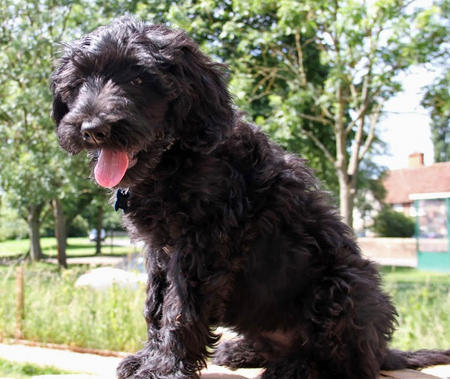 Woody the Portuguese Water Dog Pictures 1019331