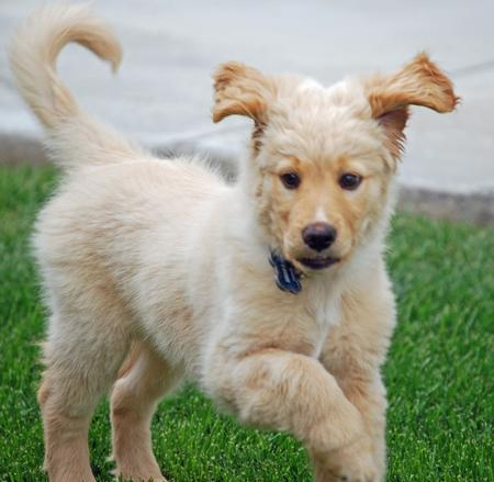 Yoshi the Golden Retriever  Pictures 884037