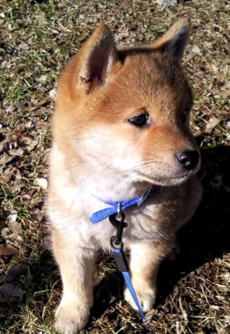 Yuki the Shiba Inu Pictures 555237