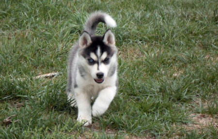 Yuki the Siberian Husky Pictures 937065