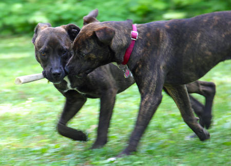 Zadie and Levi the Pit Bull Mixes Pictures 1015568