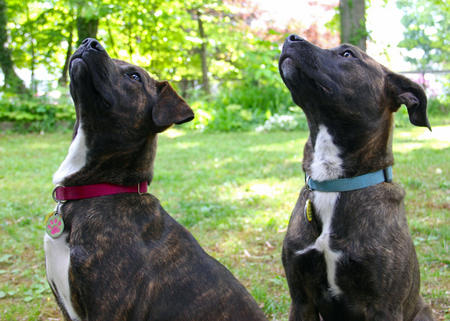 Zadie and Levi the Pit Bull Mixes Pictures 1015573