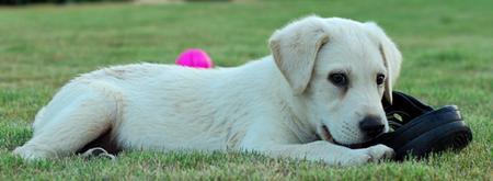 Zaga the Labrador Retriever Pictures 921114