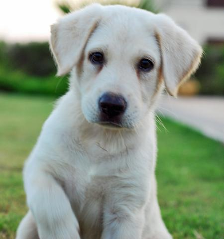 Zaga the Labrador Retriever Pictures 921111