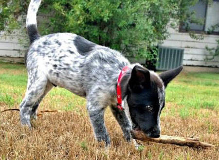 Zedd the Australian Cattle Dog Pictures 988570