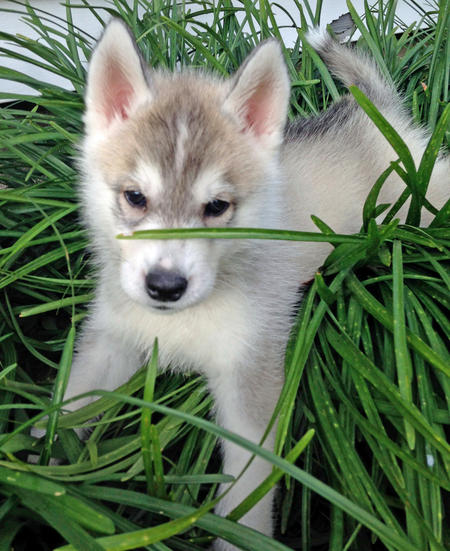 Zeke the Siberian Husky Pictures 994557