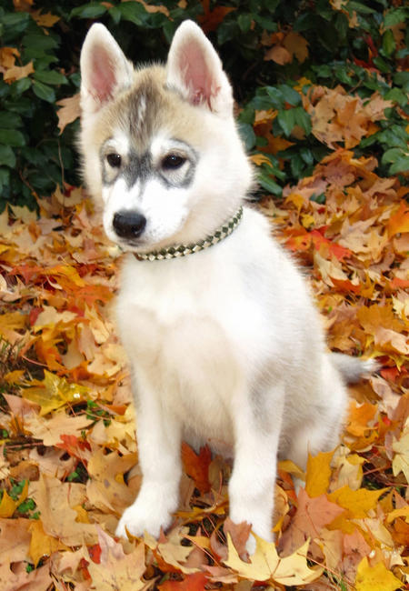 Zeke the Siberian Husky Pictures 994560