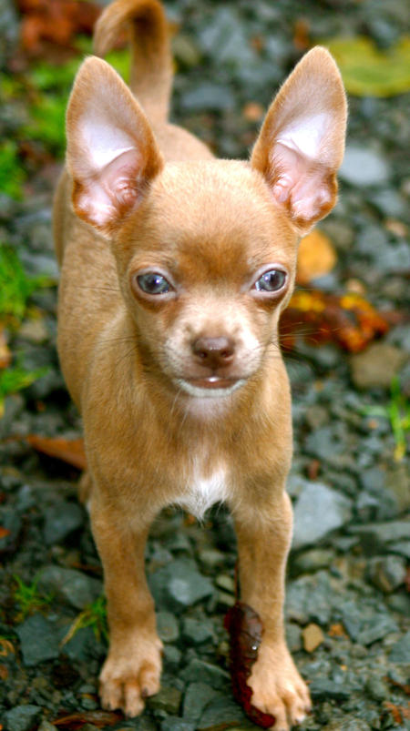 Zen the Chihuahua Pictures 831944