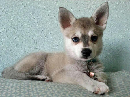 Zephyr the Alaskan Klee Kai Pictures 945163