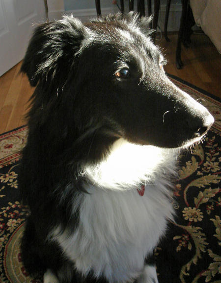Zero the Border Collie Pictures 519215