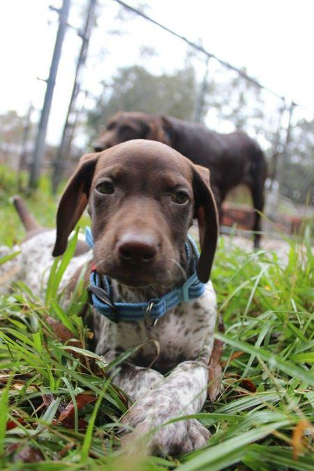 Zero the German Shorthaired Pointer Pictures 1056755