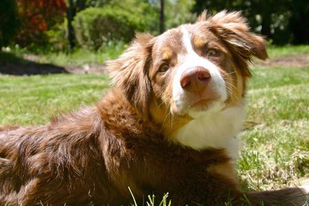 Ziggy the Australian Shepherd Mix Pictures 898665
