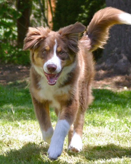 Ziggy the Australian Shepherd Mix Pictures 898666