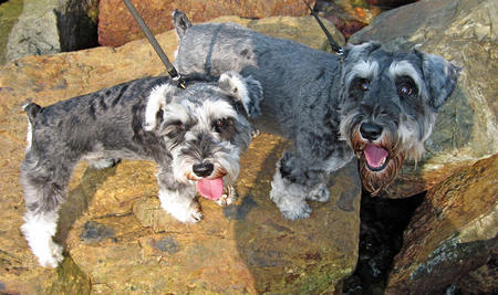Ziggy the Miniature Schnauzer Pictures 750175