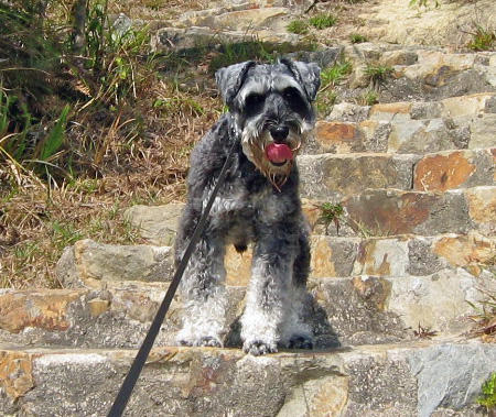 Ziggy the Miniature Schnauzer Pictures 750170