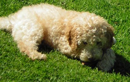 Ziggy the Poodle Mix Pictures 917904