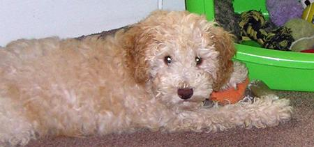 Ziggy the Poodle Mix Pictures 917905