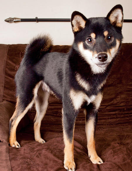 Zim the Shiba Inu Pictures 961834
