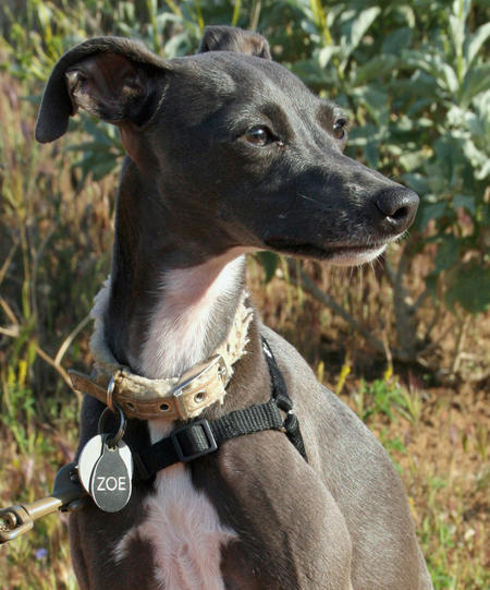 Zoe the Italian Greyhound Pictures 1040692