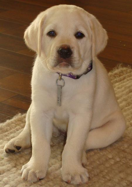 Zoe the Labrador Retriever Pictures 792983
