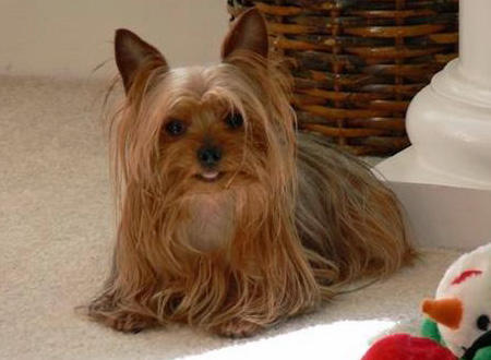 Zoe the Yorkshire Terrier Pictures 755722