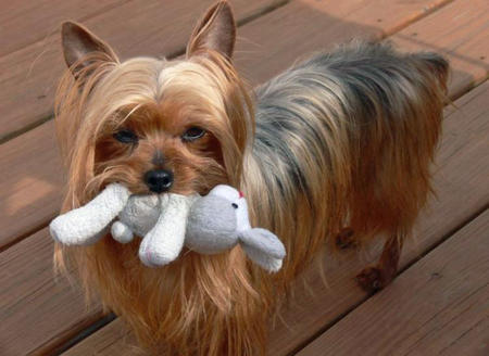Zoe the Yorkshire Terrier Pictures 755724