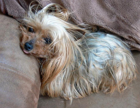 Zoe the Yorkshire Terrier Pictures 755725