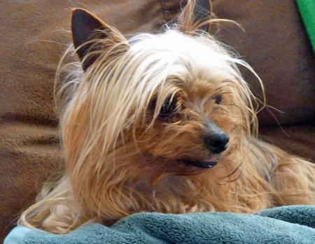 Zoe the Yorkshire Terrier Pictures 755720