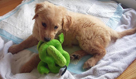 Zoey the Golden Retriever Pictures 864932