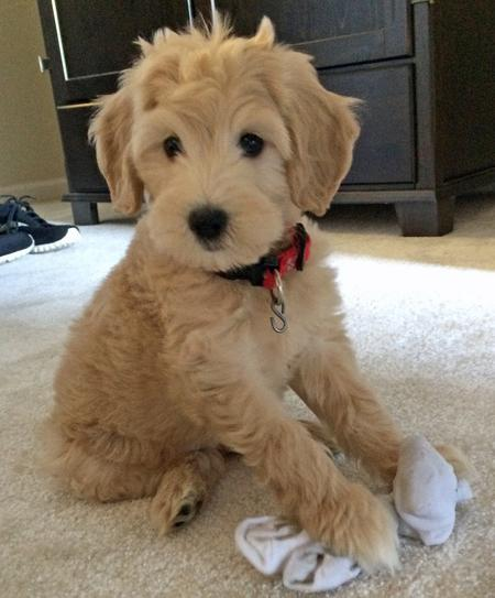 Zoey the Goldendoodle Pictures 1038003