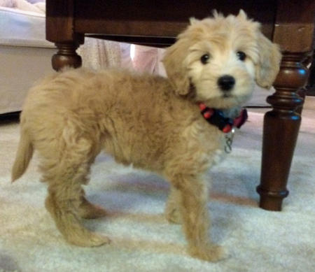 Zoey the Goldendoodle Pictures 1038004