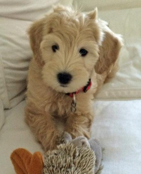 Zoey the Goldendoodle Pictures 1042739