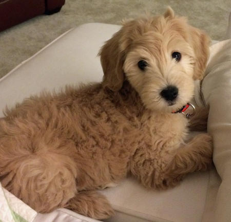 Zoey the Goldendoodle Pictures 994320