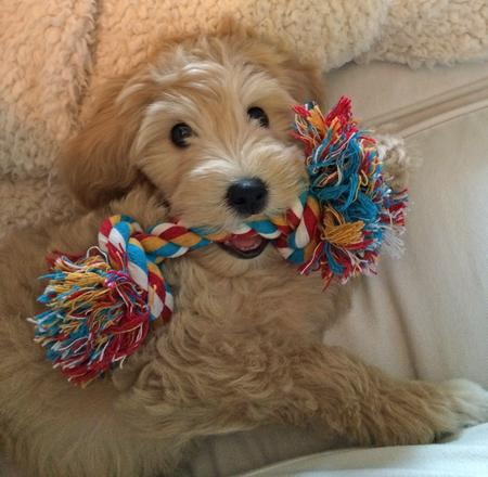 Zoey the Goldendoodle Pictures 994321