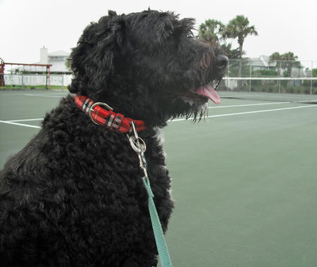 Zoie the Portuguese Water Dog Pictures 743747