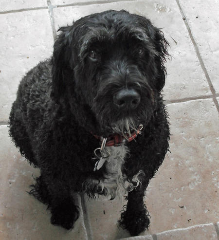 Zoie the Portuguese Water Dog Pictures 743748