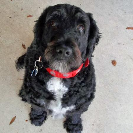 Zoie the Portuguese Water Dog Pictures 743744