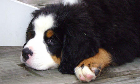 Zolli the Bernese Mountain Dog Pictures 487304