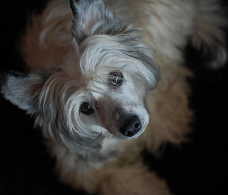 Zombi the Chinese Crested  Pictures 640385