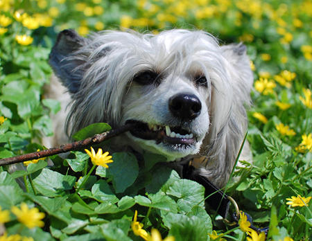 Zombi the Chinese Crested  Pictures 640389