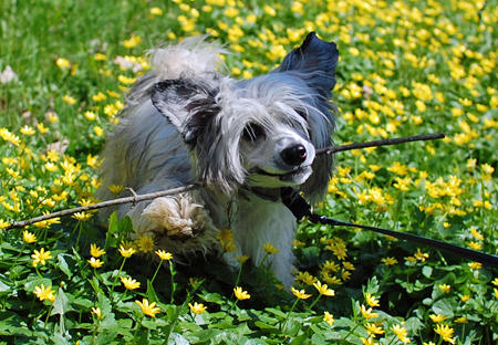 Zombi the Chinese Crested  Pictures 640384