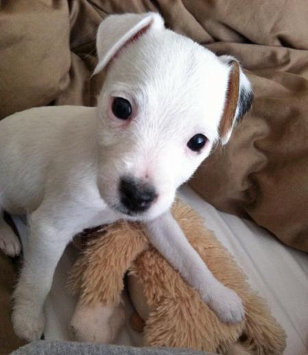 Zora the Jack Russell Terrier Pictures 885603